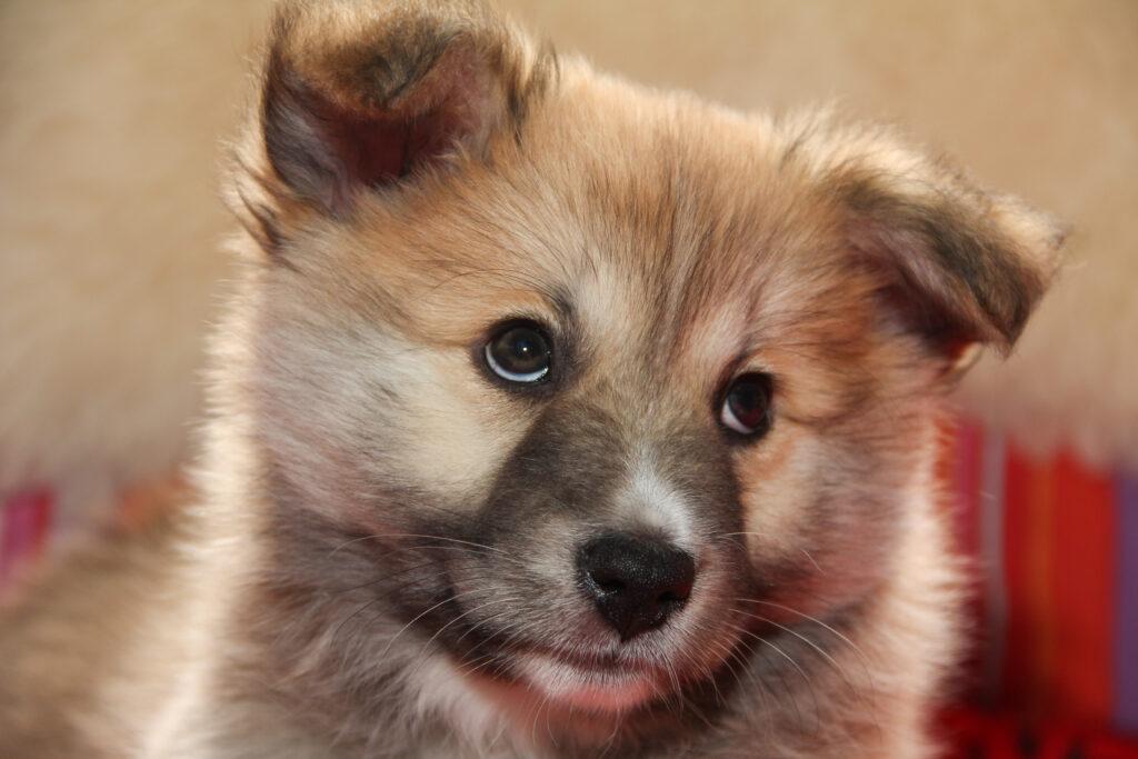 puppy icelandic dog